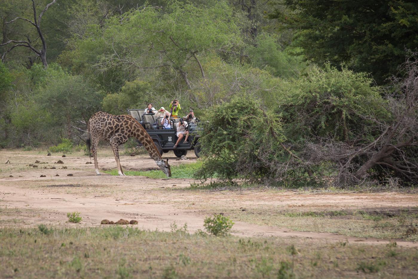Giraffe Drink LAnd Rover