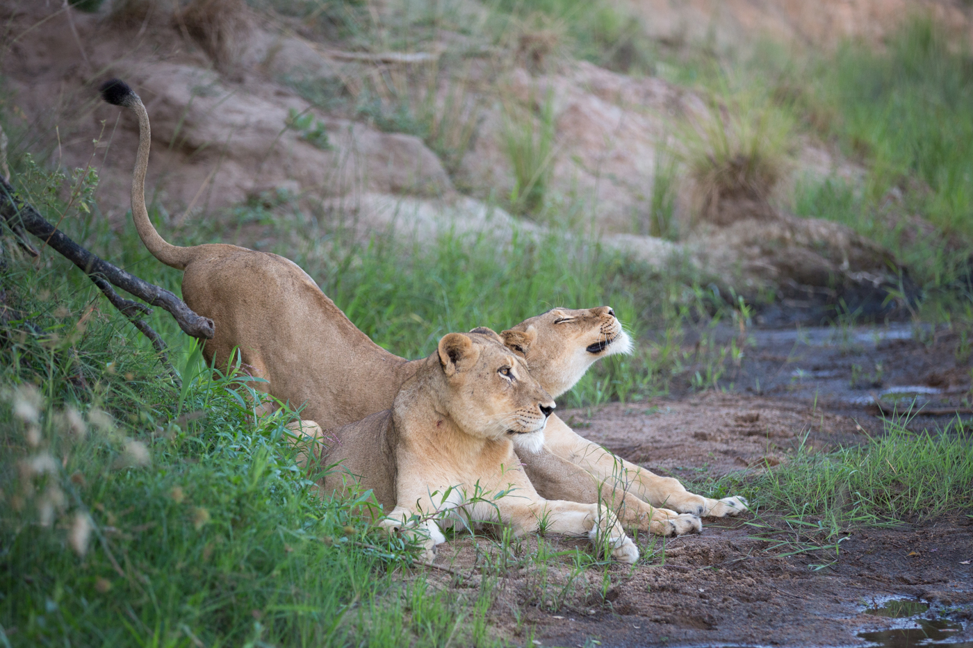 Tsalala Lion Stretch