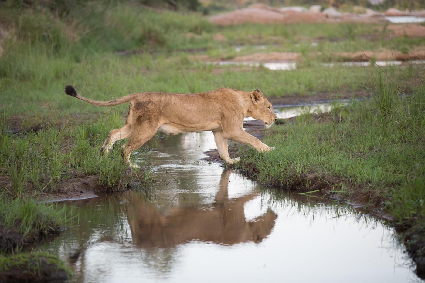 Tsalala Lion Cross Water