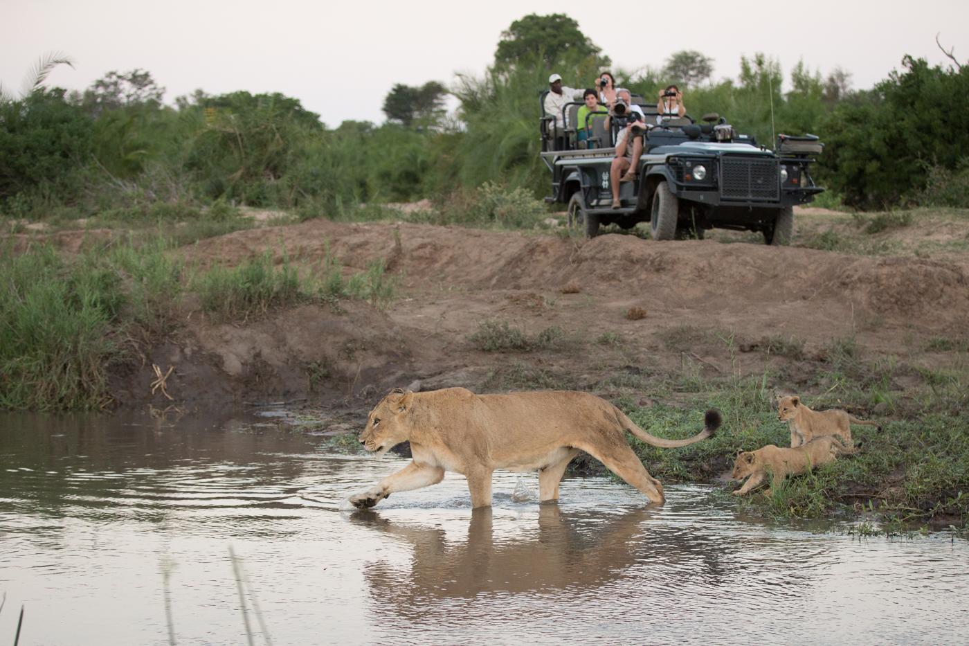 Tsalala Lion cross cubs