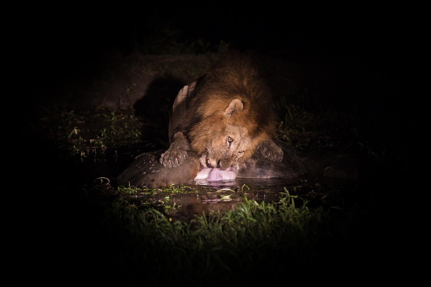 Matimba eat in water night