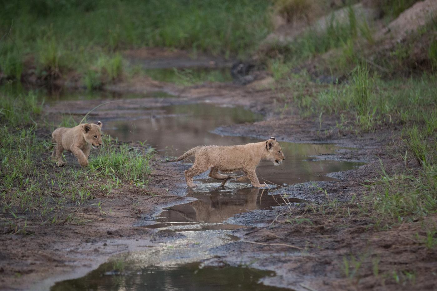 Lion CUb Cross Stream
