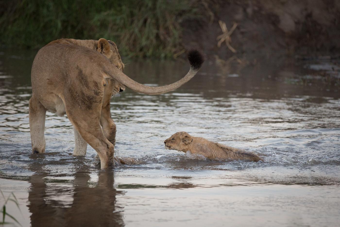 Lion Cub cross river