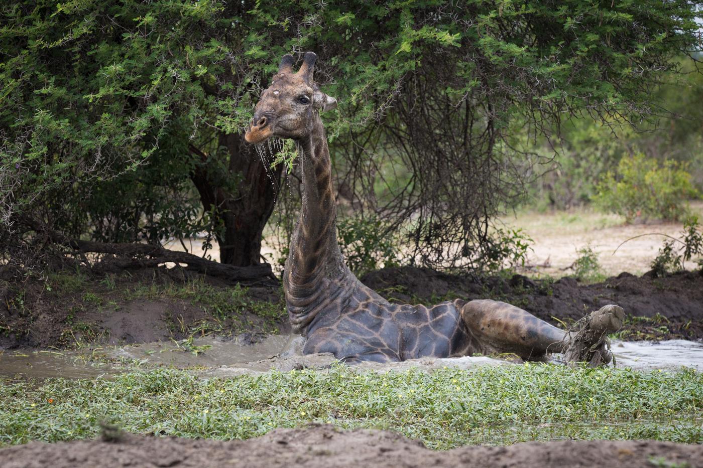 Giraffe Sable Boma