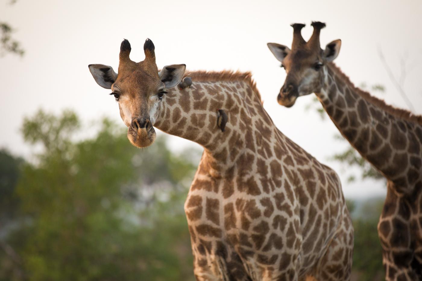 Giraffe Look camera