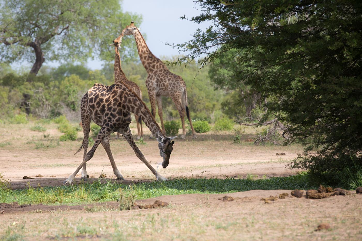 Giraffe Drink