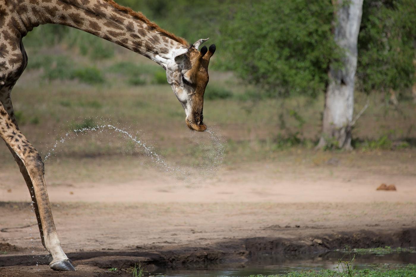 Giraffe Drink Water spray