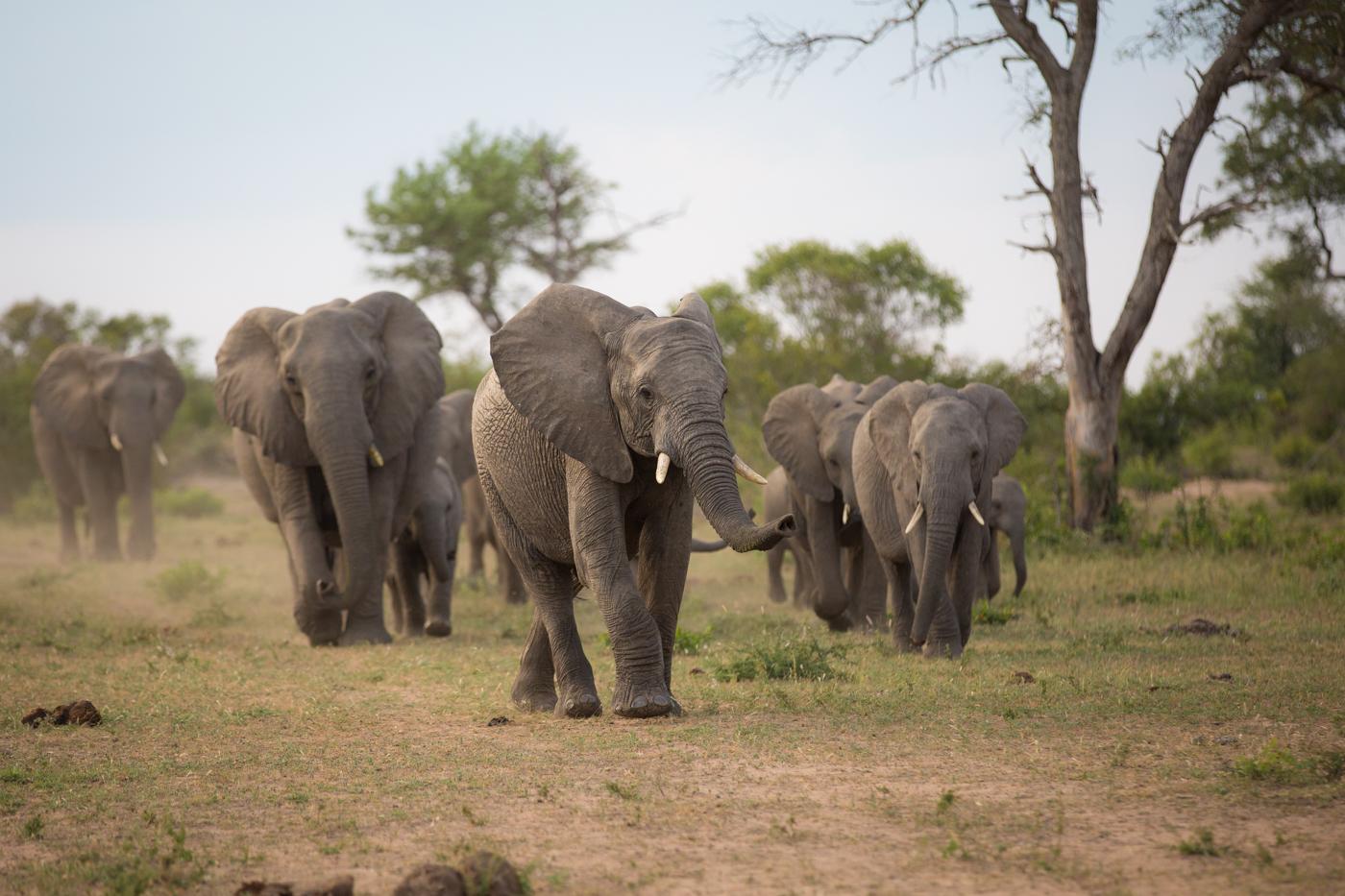 Elephants approach water