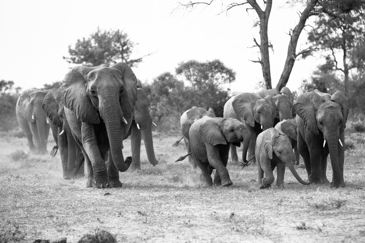 Elephant Herd black and white