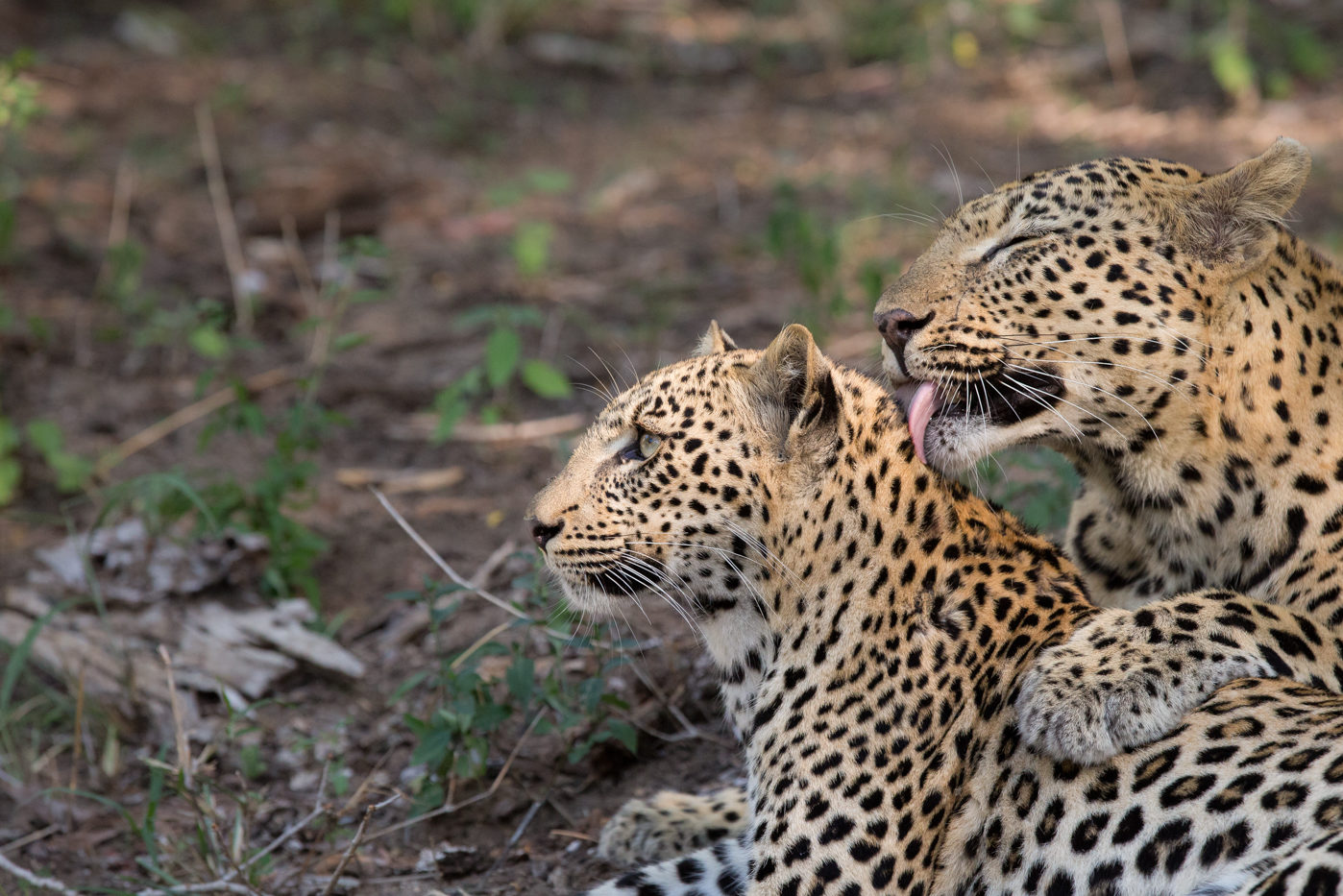 A leopard mother licks and grooms her cub affectionately.