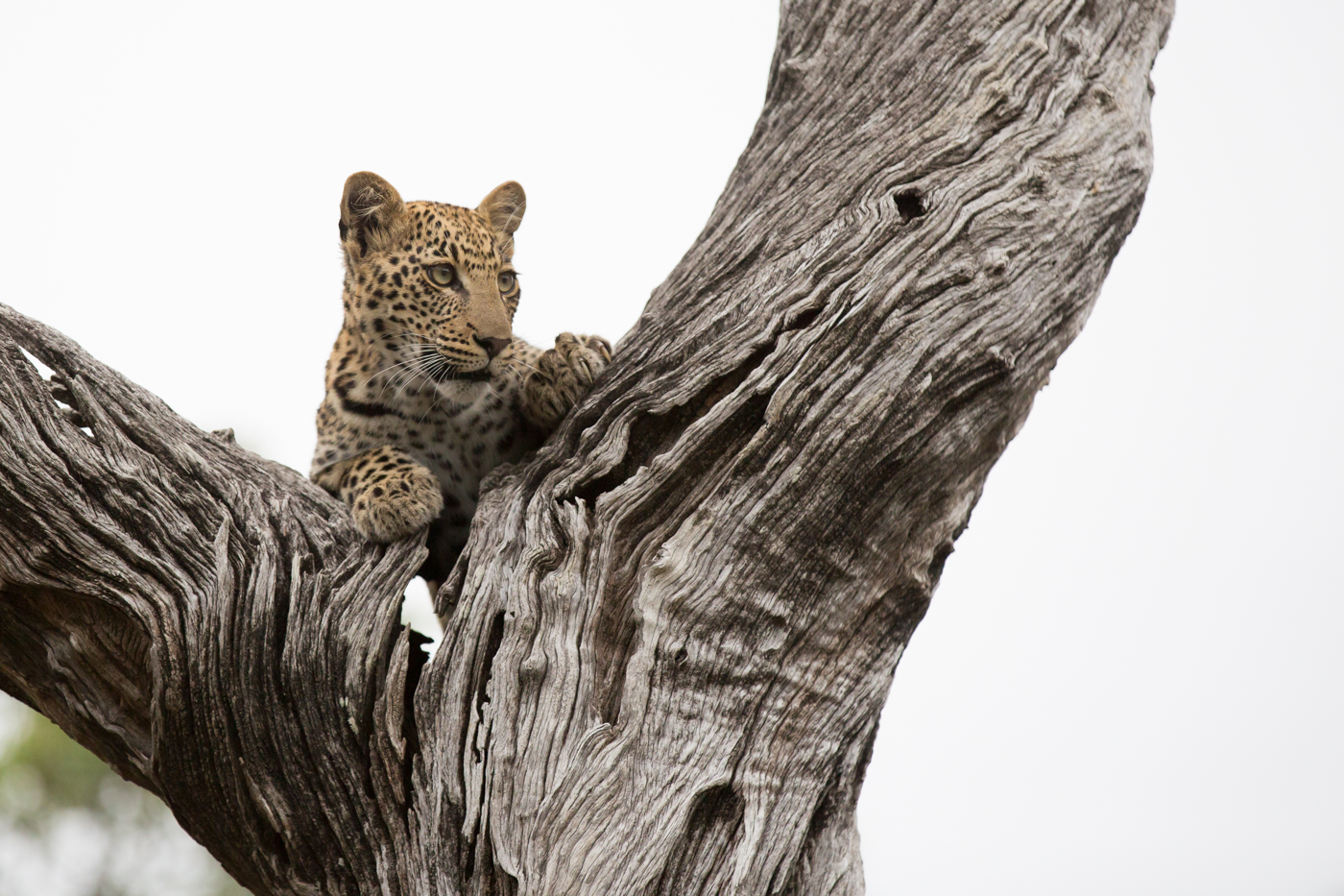 Mashaba Cub Ivory