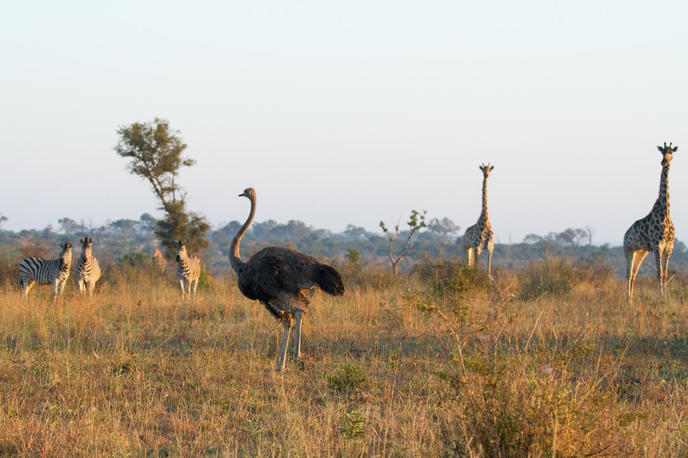 Ostrich, Zebra, Giraffe