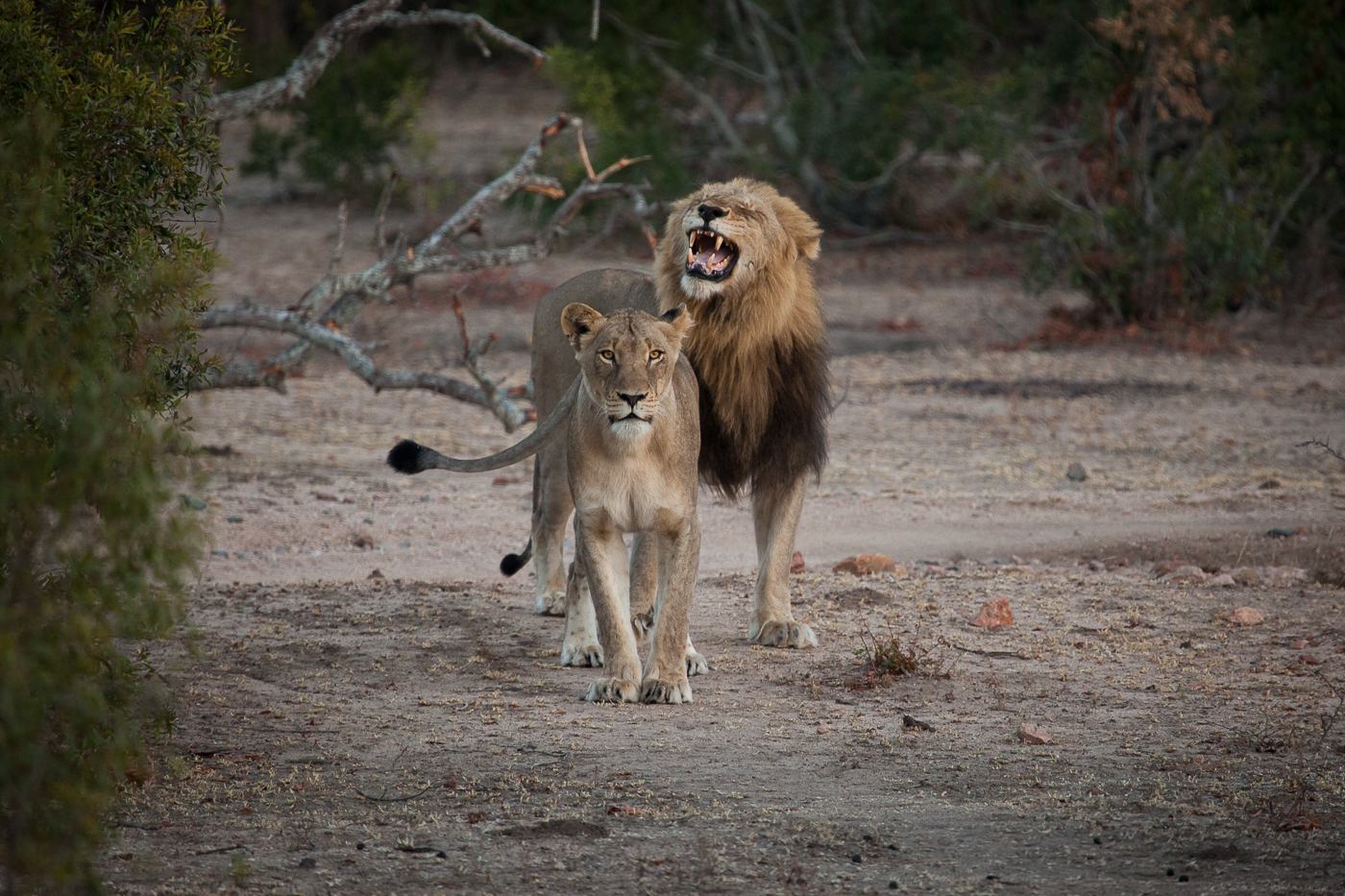 flehmen, mhangeni lioness and matimba male