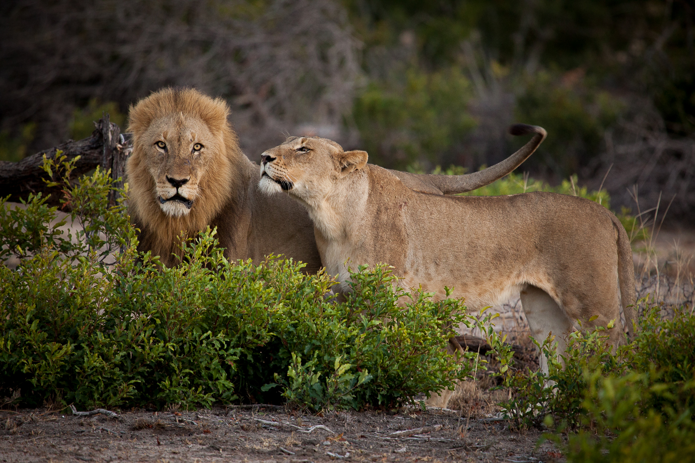Mhangeni lioness and matimba male