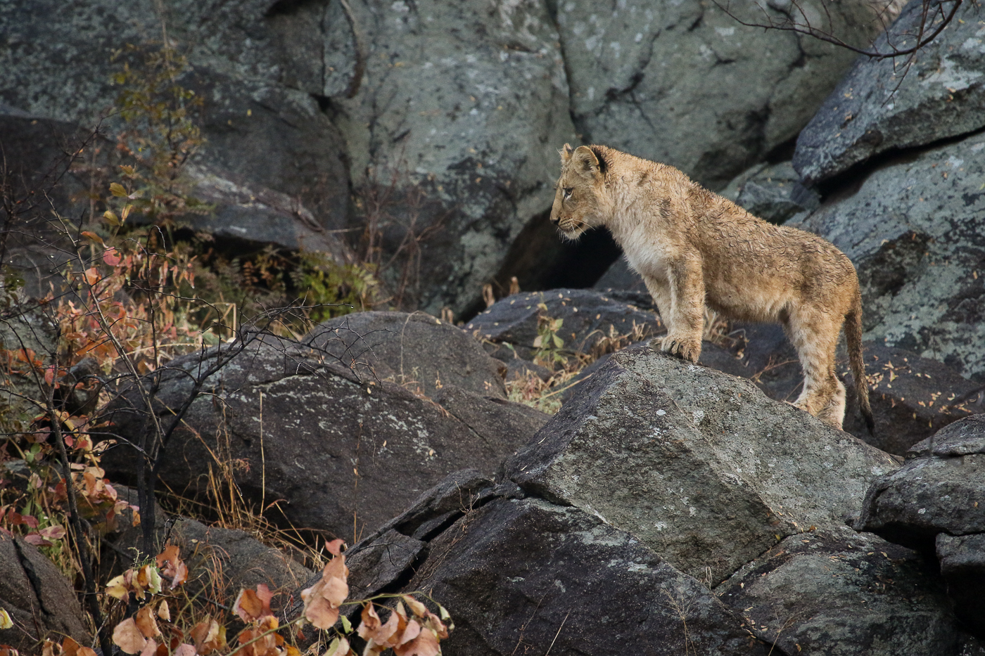 Tsalala cub on rock
