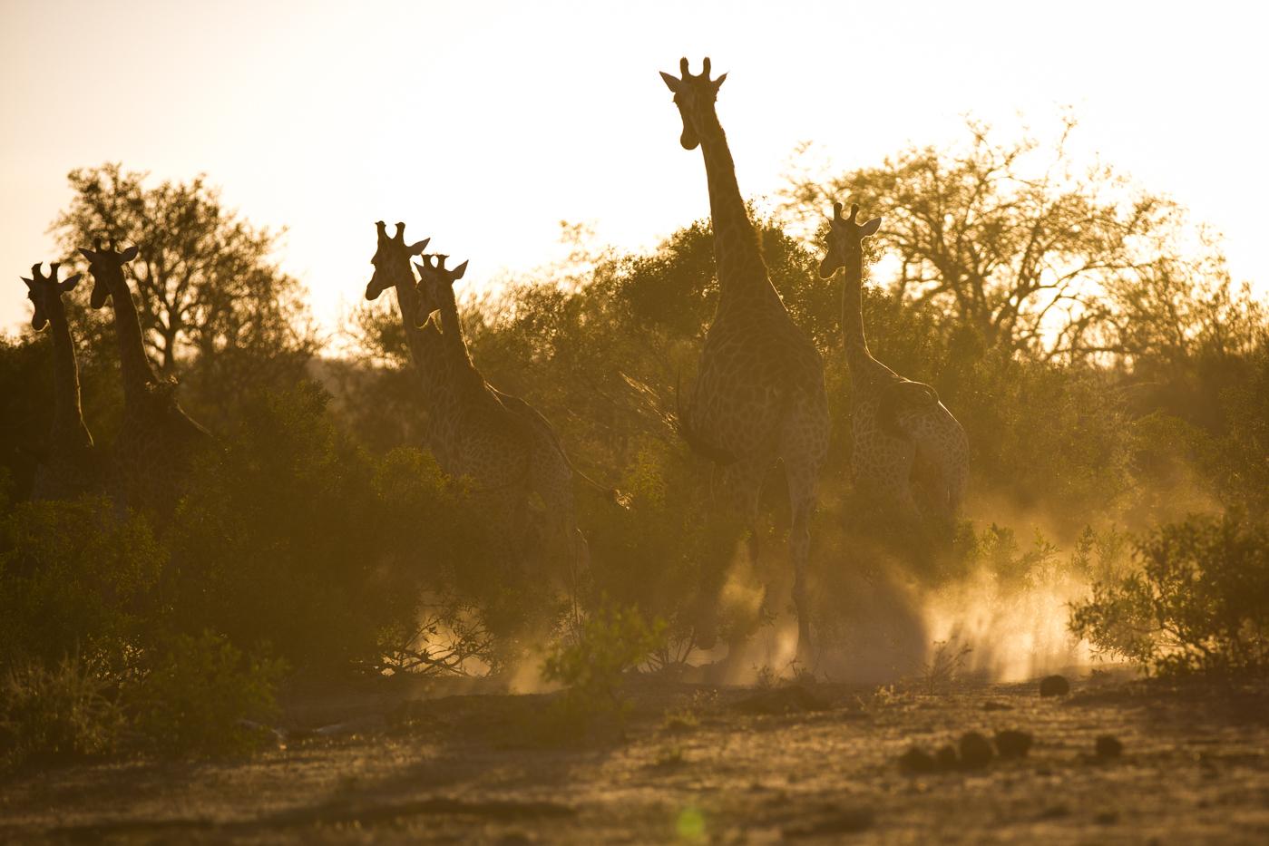 Giraffe Flee