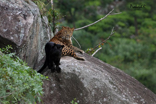 leopard, panther