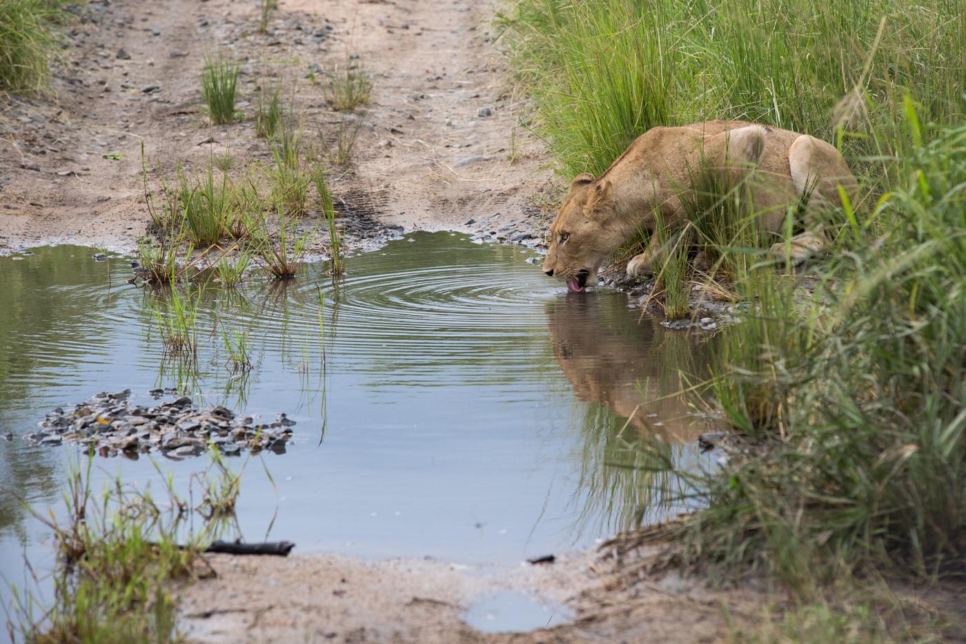 Lioness Drink