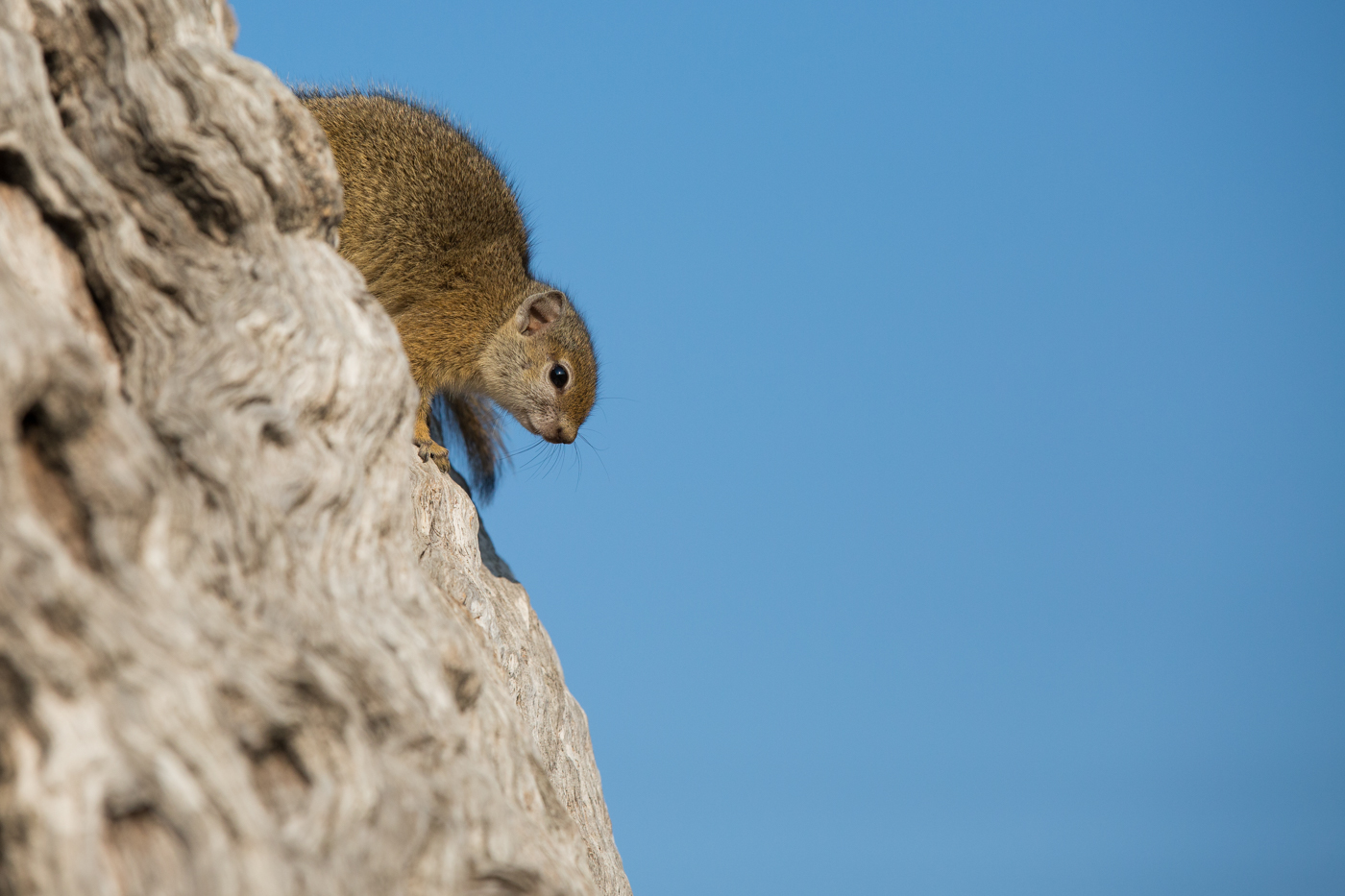 Squirrel Leadwood