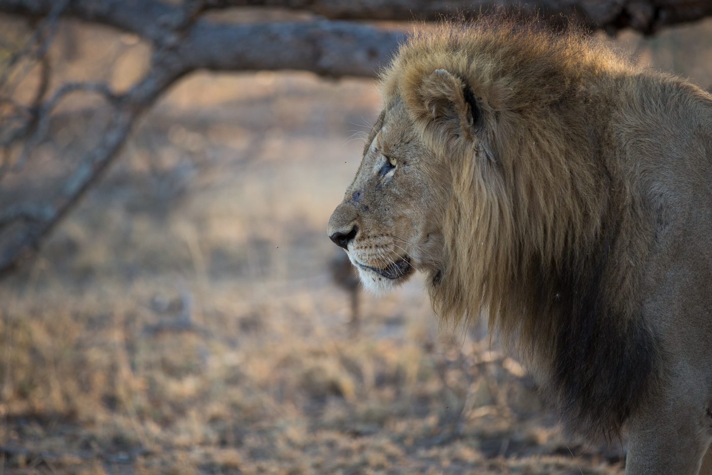 Deigning Lion Warfare Who S Chasing Who Londolozi Blog