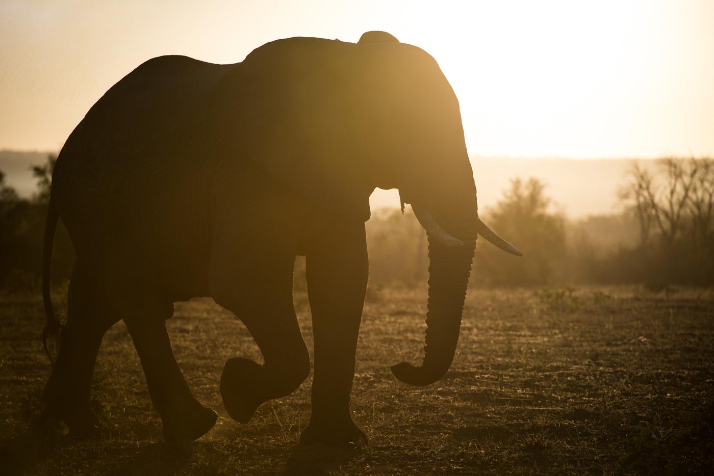 elephant bull, SC