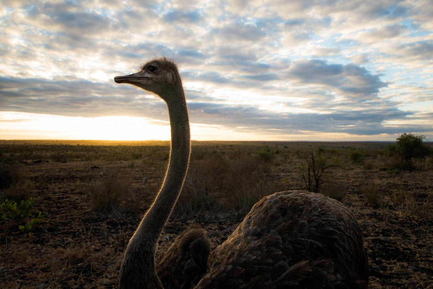 ostrich, wide, SC