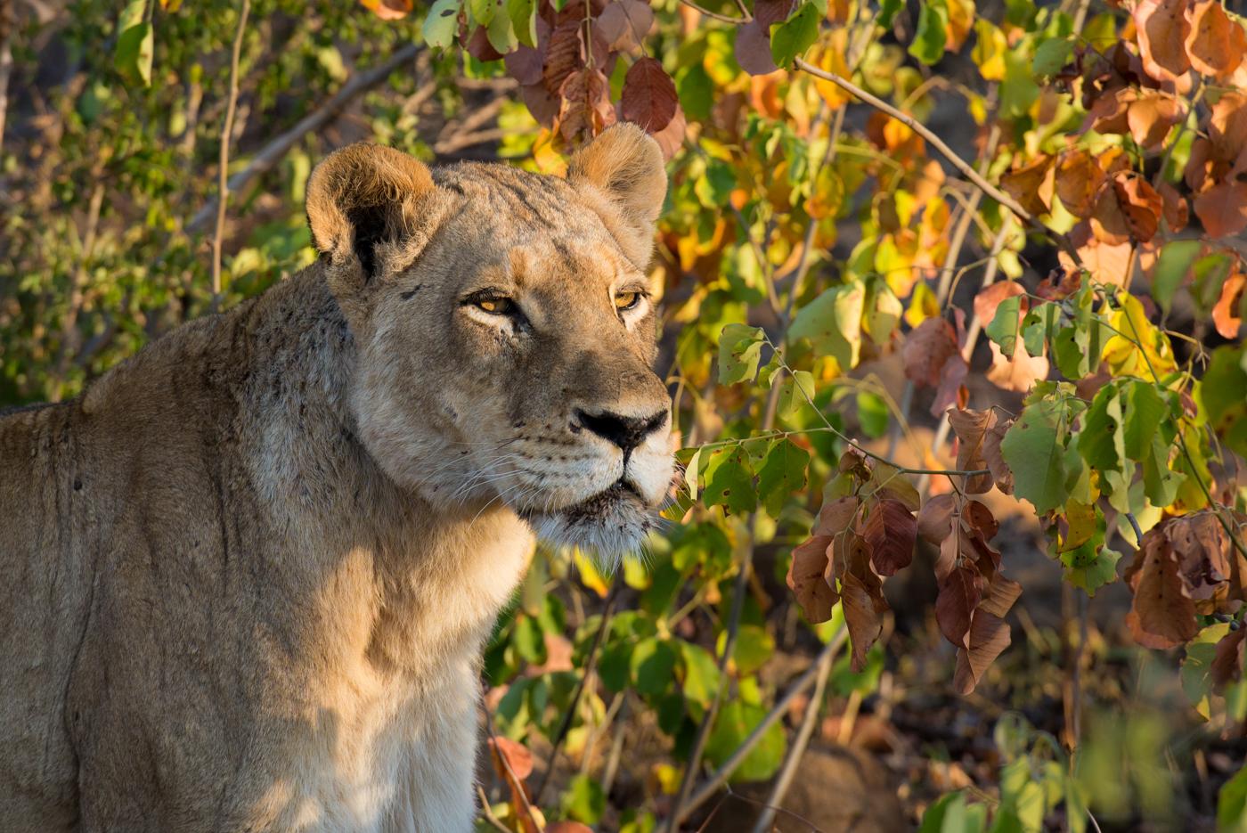 tsalala lioness, SC