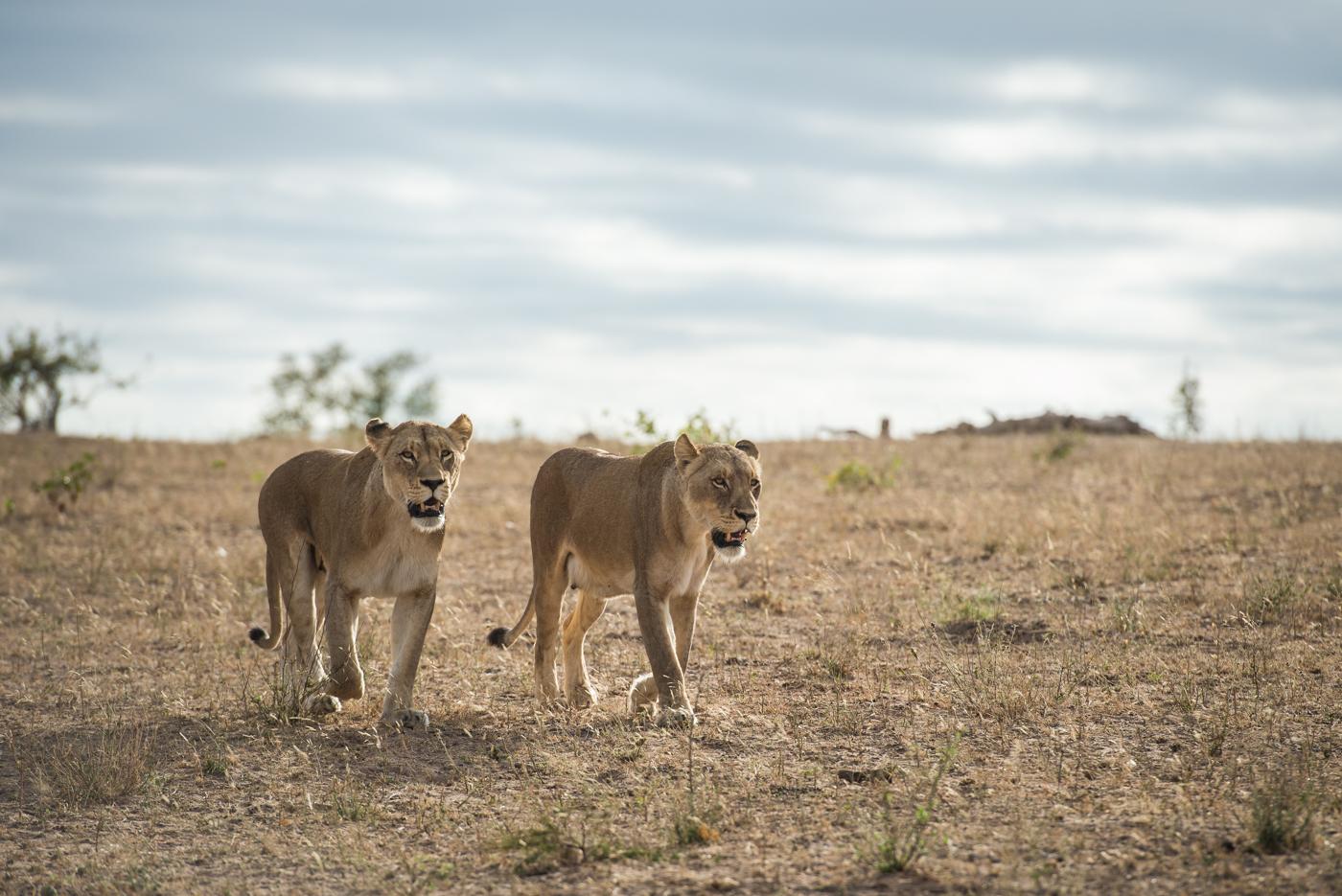 mhangeni lioness, SC