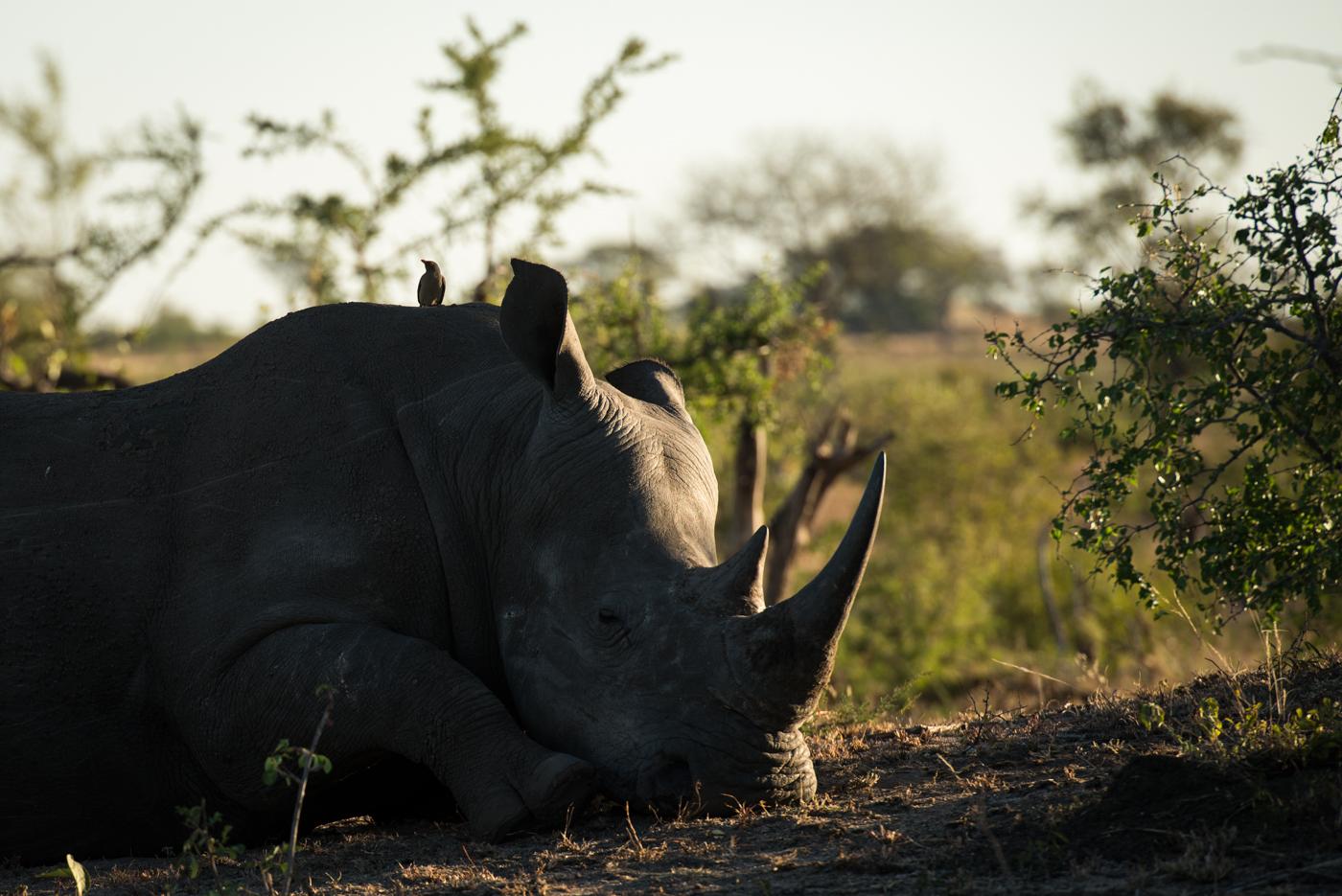 rhino, oxpecker, SC