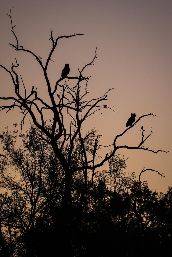 verreaux's eagle owl, SC
