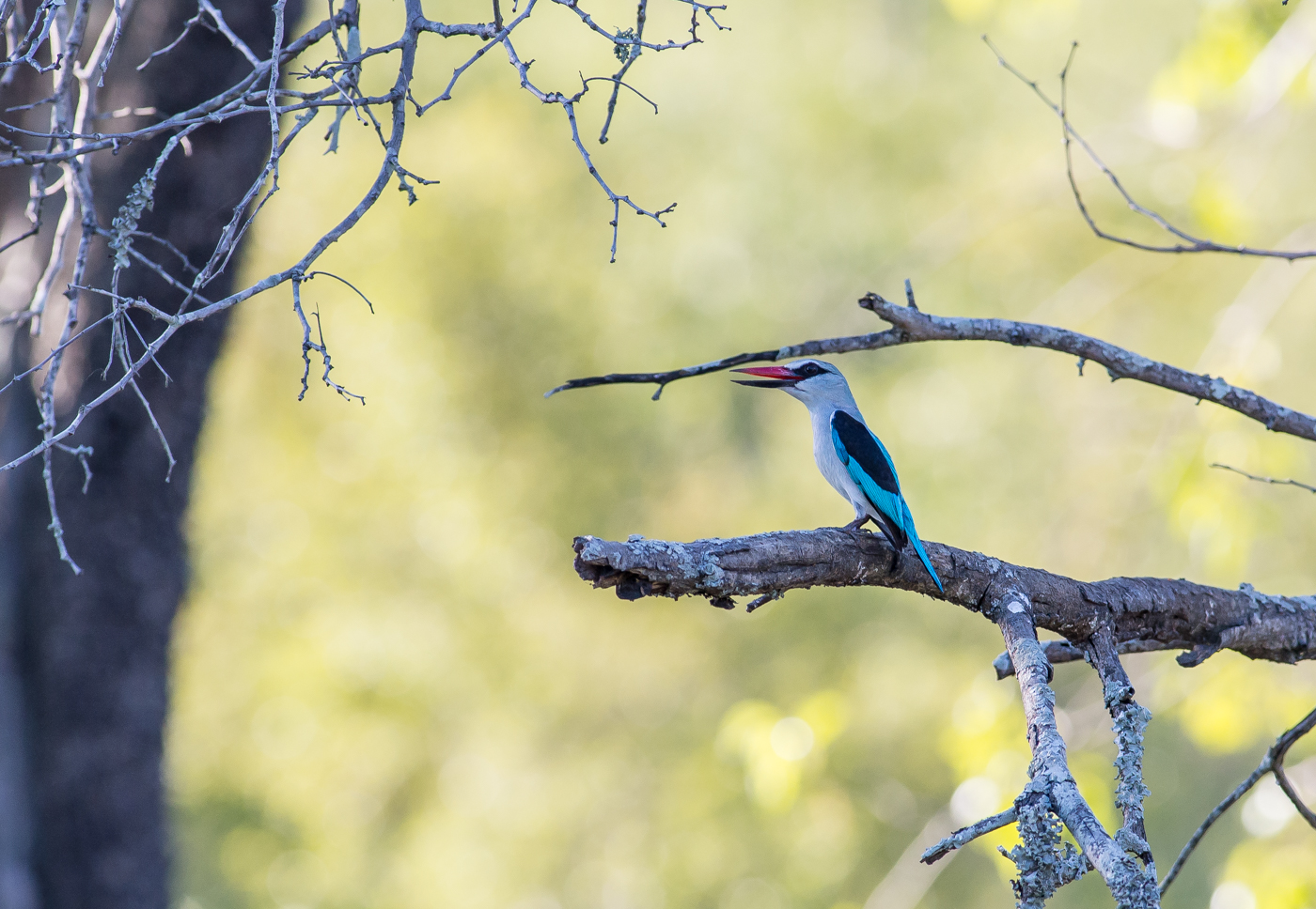 A Woodland Kingfisher calls from a prominent perch. We usually see the first of these for the season in November each year.