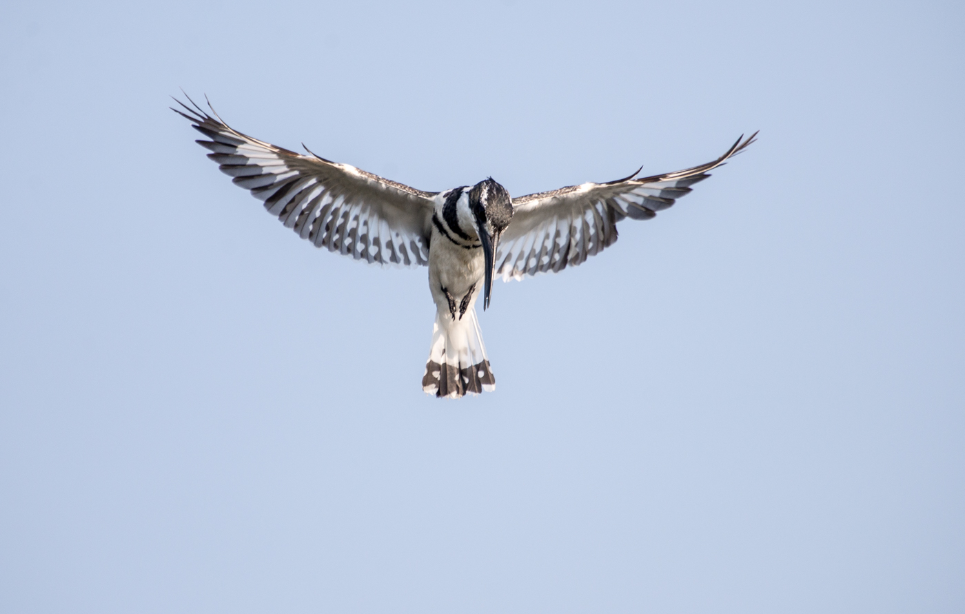 A male Pied Kingfisher hovers over the water searching for a suitable target.