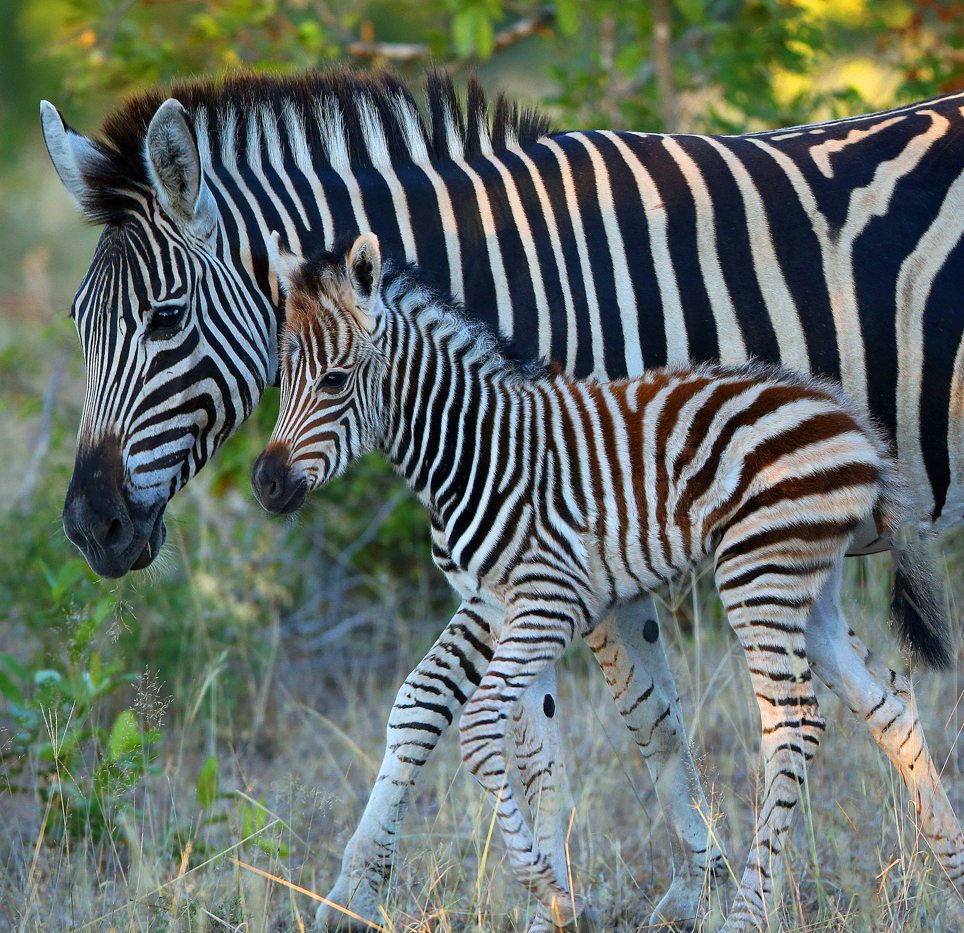 zebra foal and mother