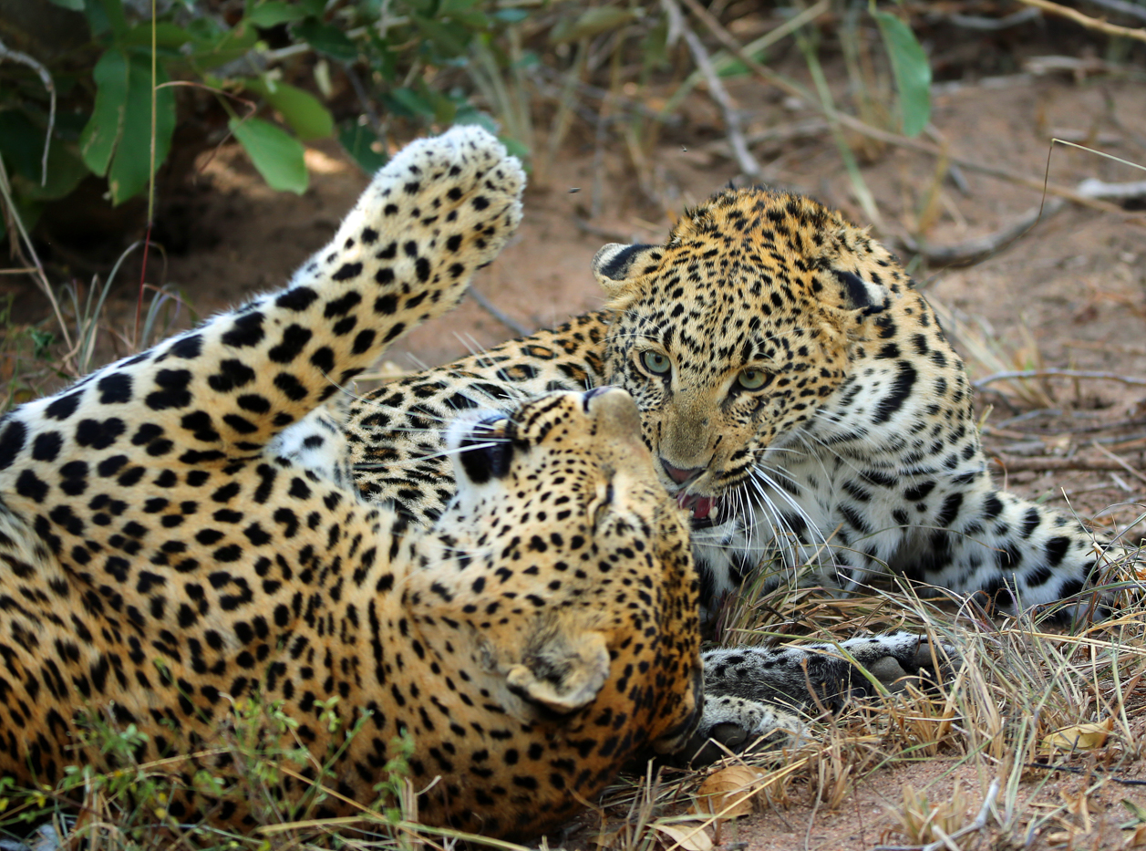 Mashaba and cub play