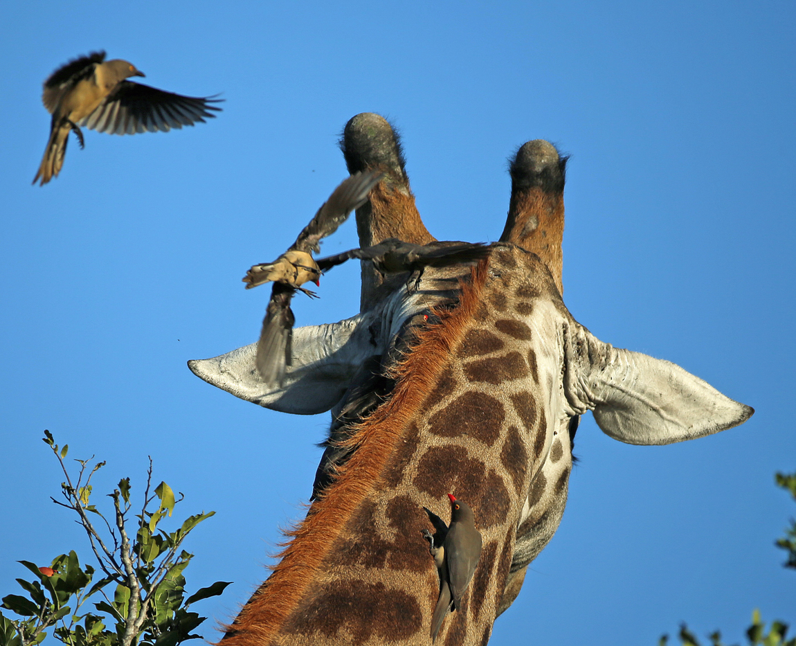 giraffe and ox peckers