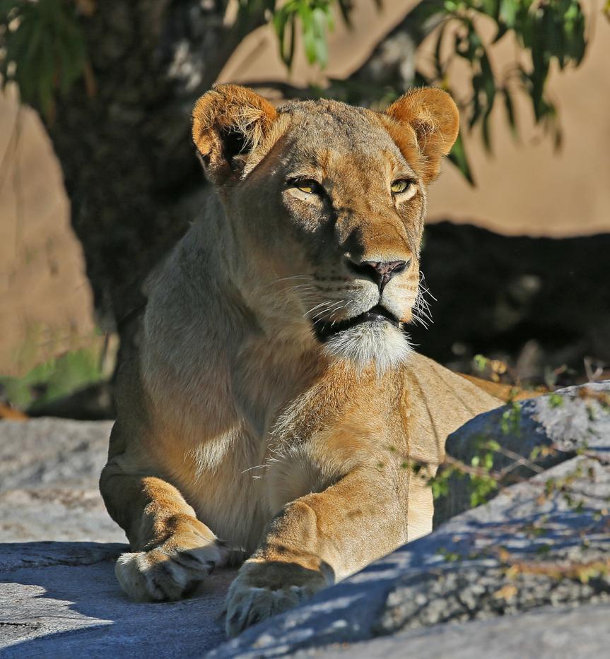 Tsalala lioness