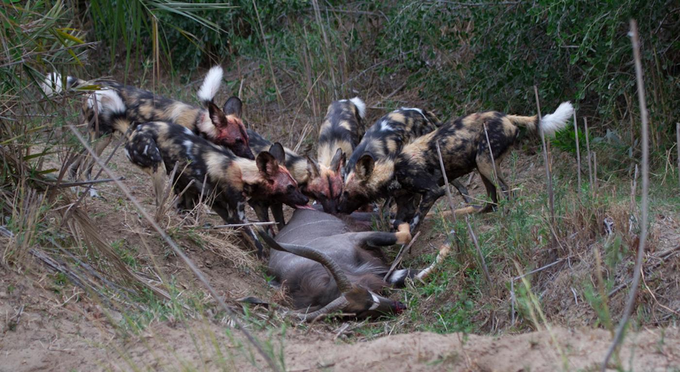 wild dogs kill nyala