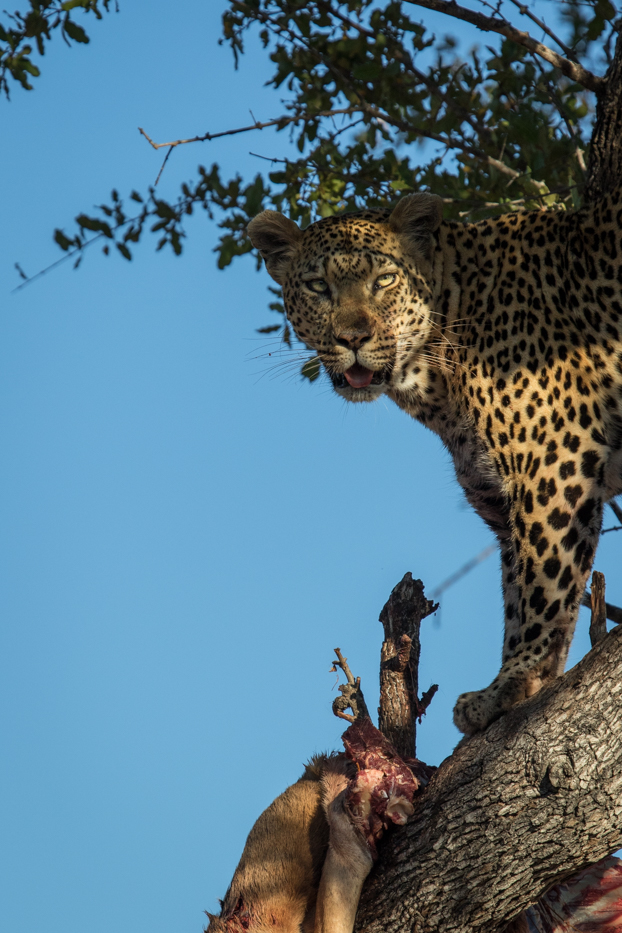 Mashaba female kill in tree