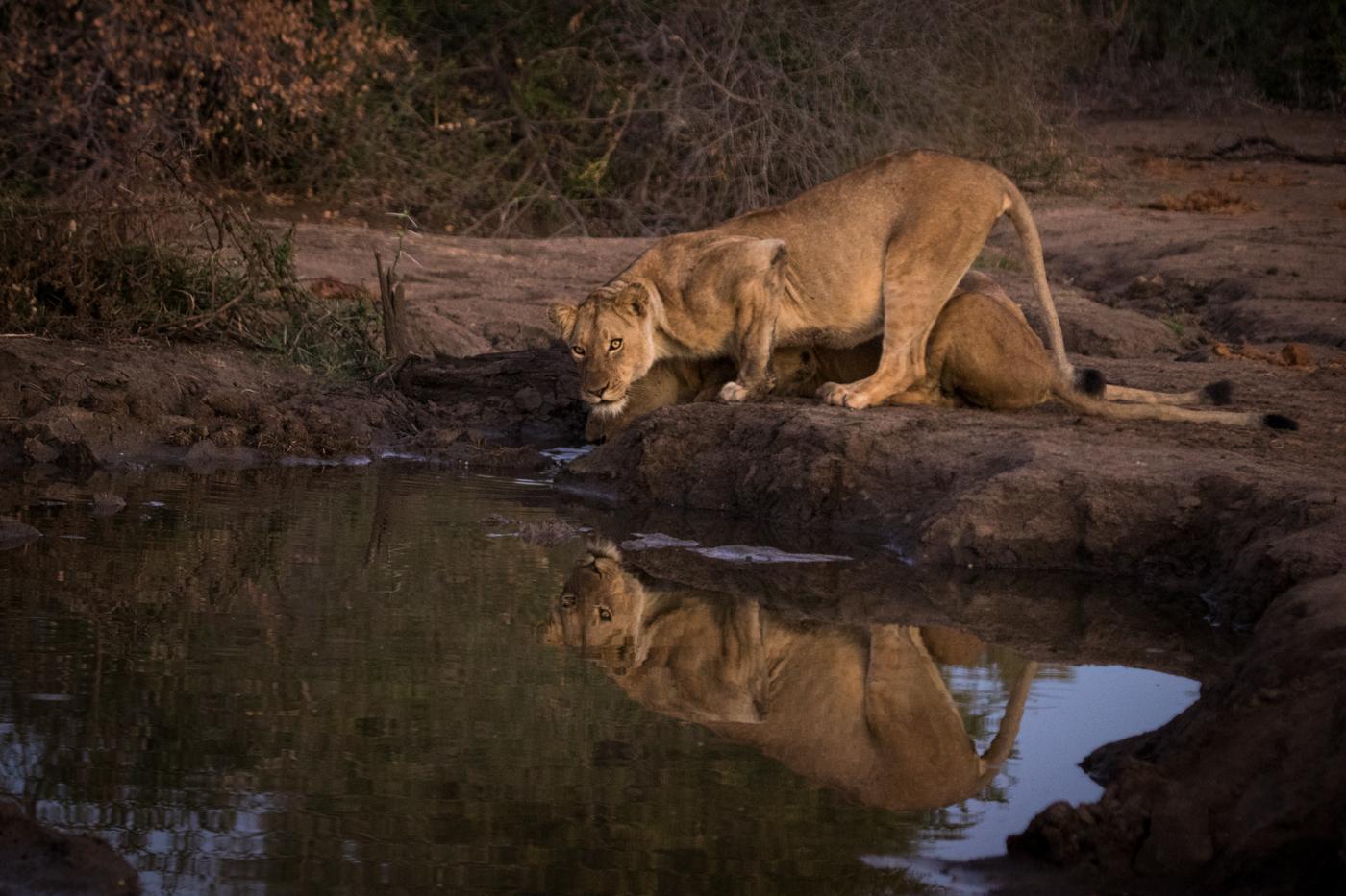Sparta lioness drinking