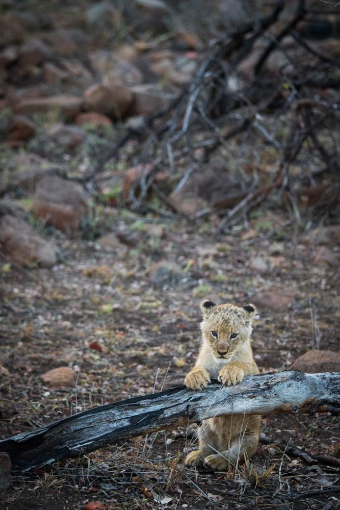 tsalala lion cub
