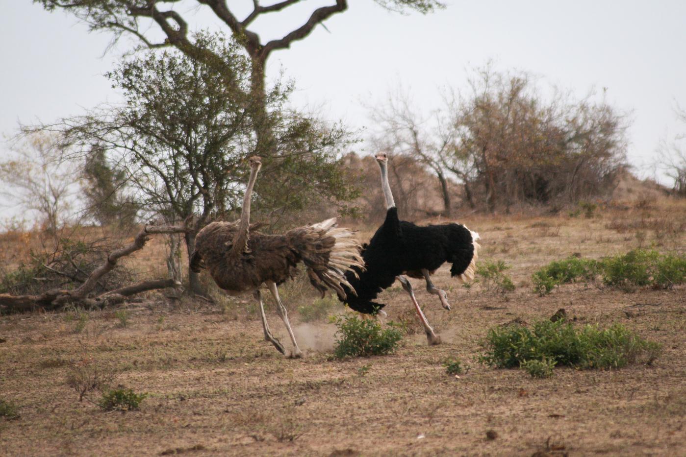 Ostrich-3