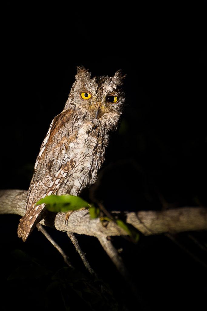 skops owl