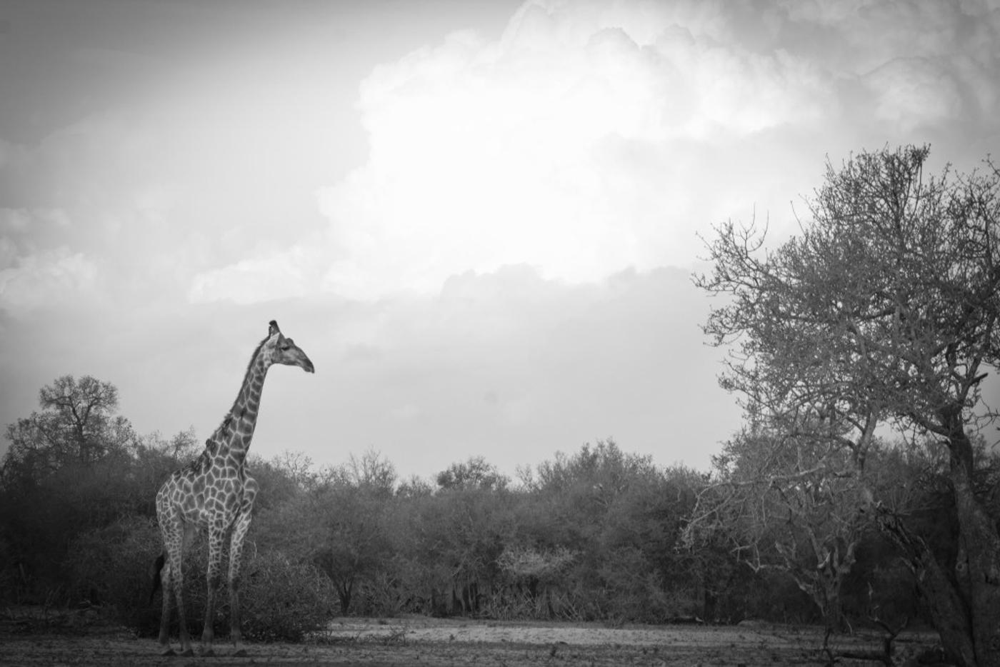 giraffe-bw