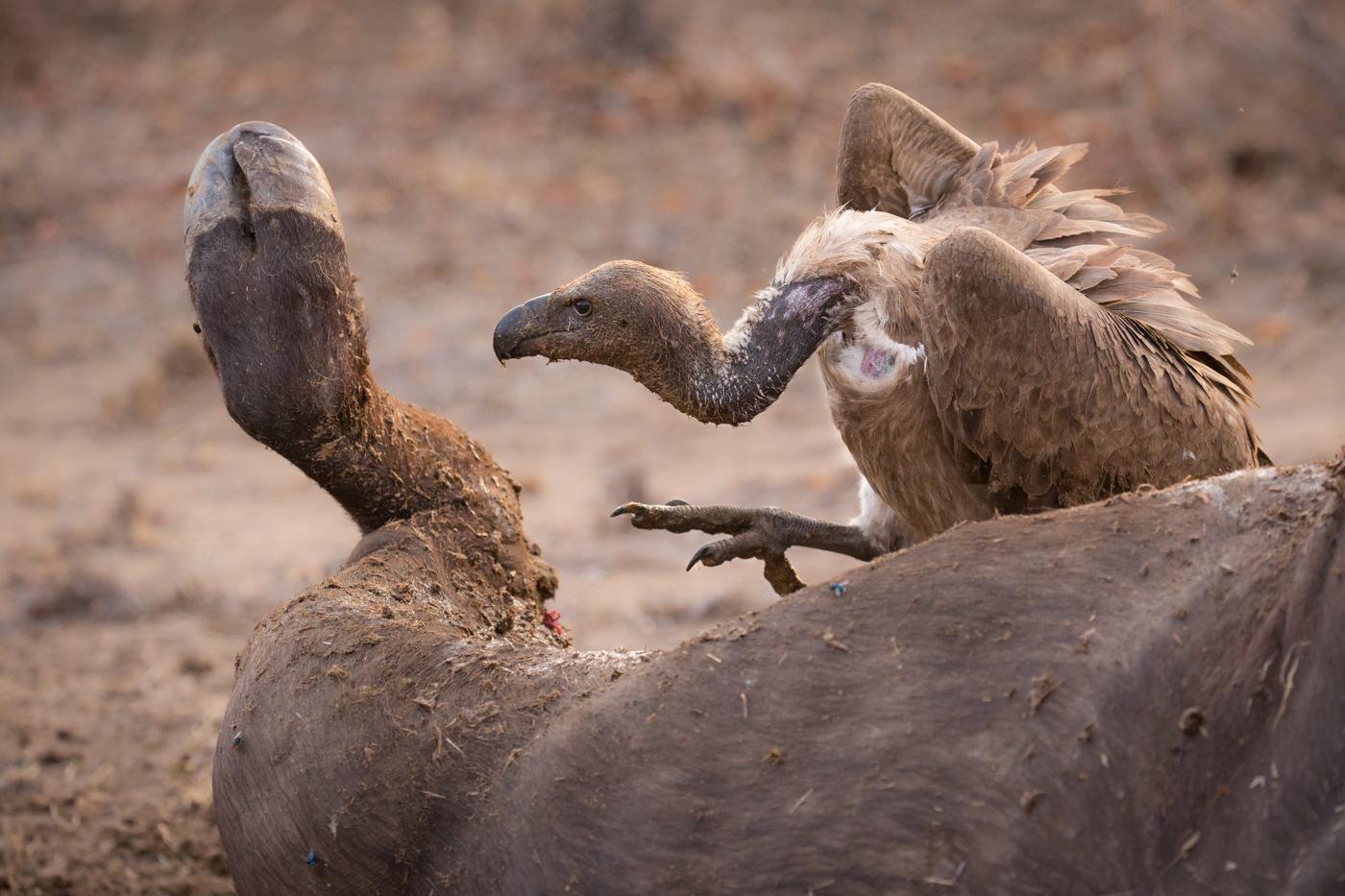 vulture-buffalo-claw