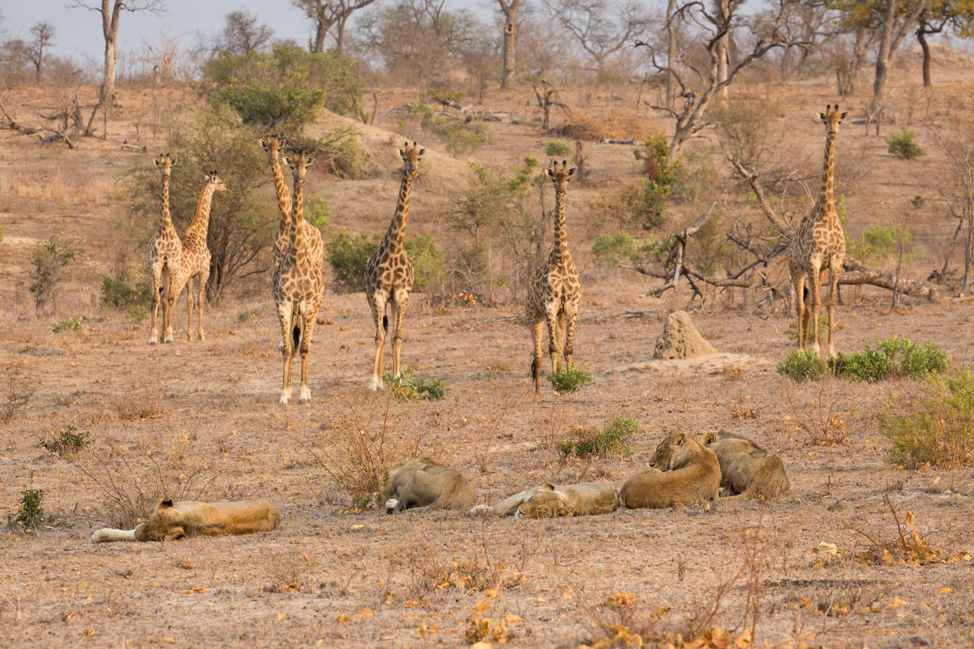 tsalala-breakaway-giraffe