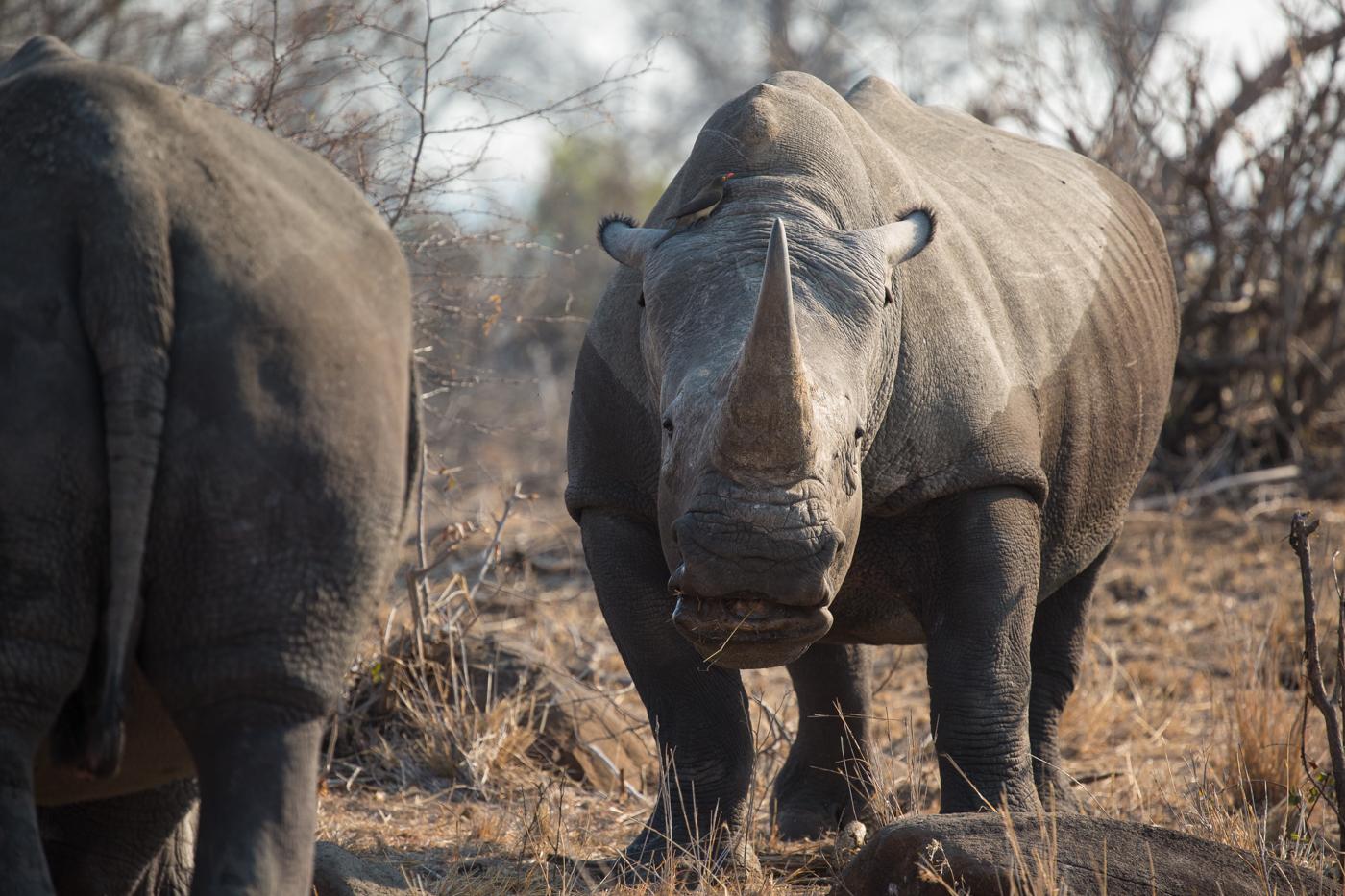 rhino-bull-agression