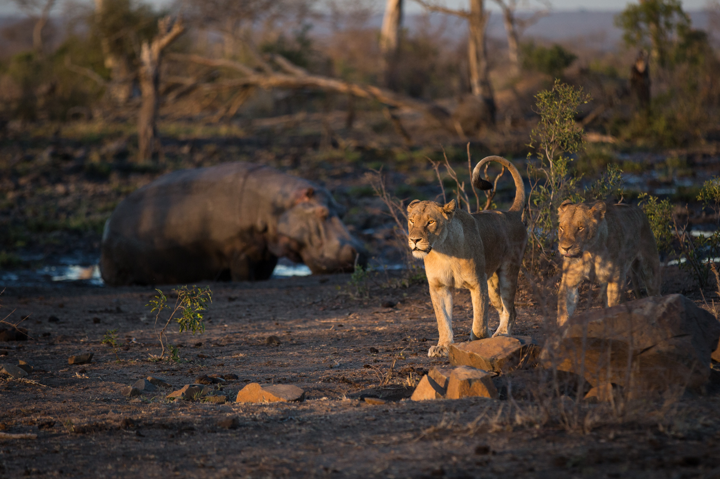 mhangeni-breakaway-hippo