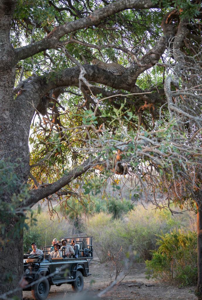 londolozi, leopard, sausage tree, land rover, kruger parkJT
