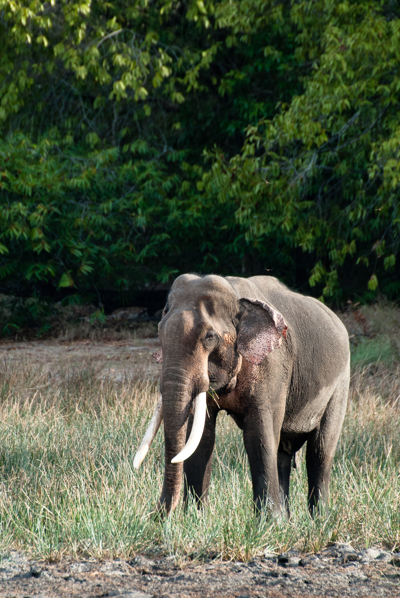 Very whore scientific name for asian elephant