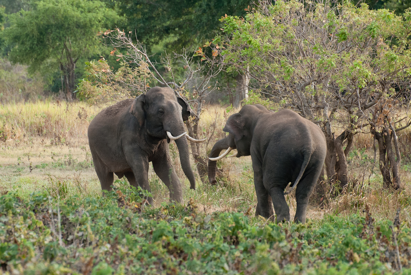 the characteristics of the african elephant a large mammal Here we have simply stated out facts about mammals, then the distinctive characteristics of mammals and at last we have done the most common type of classification of mammalswith links to the articles about each mammal.